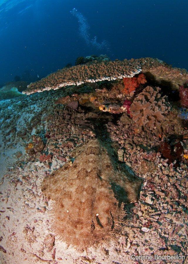 Wobbegong ou requin-tapis barbu. Raja Ampat, Papouasie, Indonu00e9sie ...