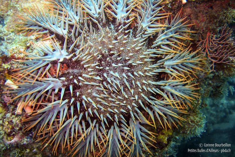 "The acanthaster starfish is also called ""crown of thorns"". (Tioman, Malaysia, July 2006)"