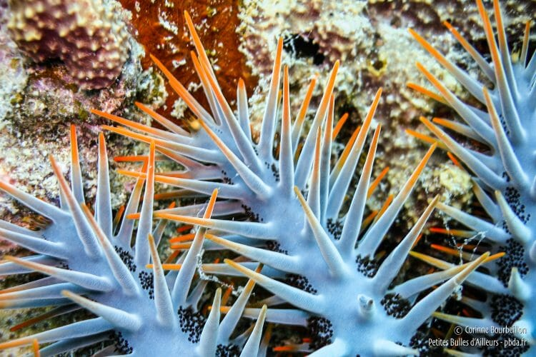 The quills of the acanthaster are venomous. (TIoman, Malaysia, July 2006)