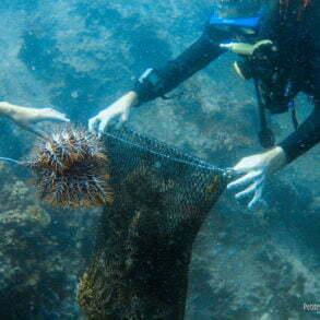 Les acanthasters se roulent en boule au bout du crochet. (TIoman, Malaisie, juillet 2006)
