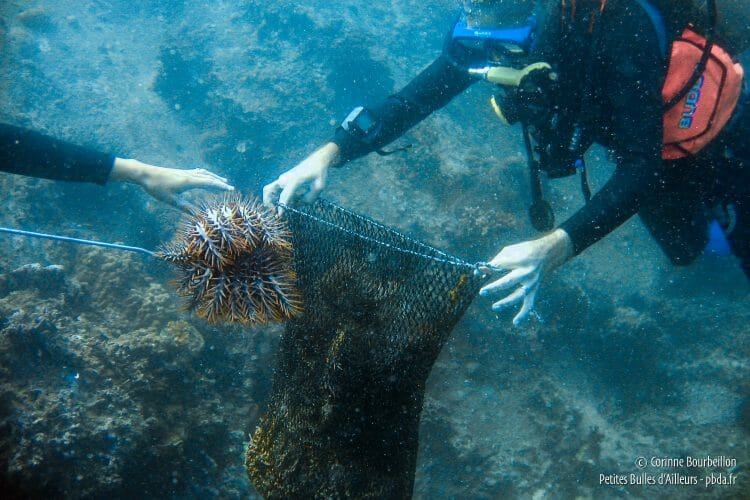 The acanthasters roll in a ball at the end of the hook. (TIoman, Malaysia, July 2006)
