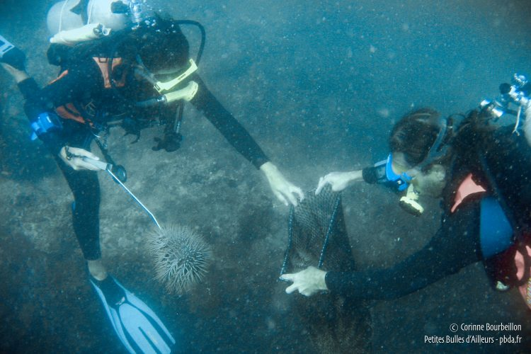 Be careful not to touch the venomous spines of acanthasters. (TIoman, Malaysia, July 2006)