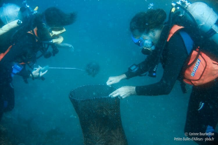 The net fills with acanthasters. (TIoman, Malaysia, July 2006)