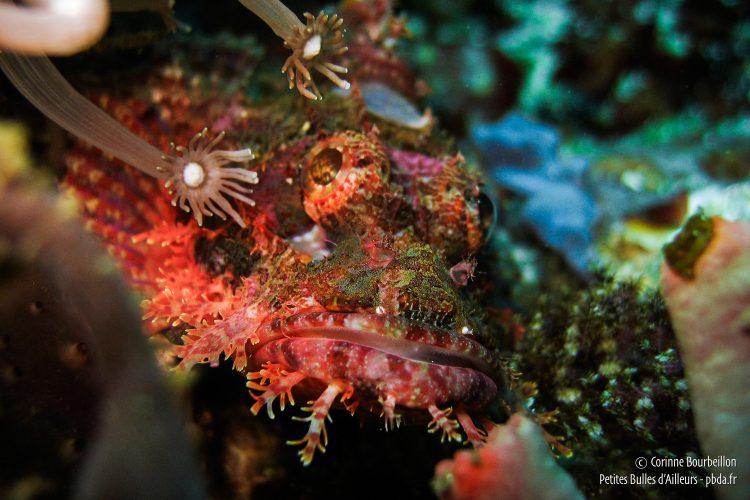 Ce poisson-scorpion me regarde faire des bulles, impassible. (Sogod Bay, Leyte, Philippines, février 2008)
