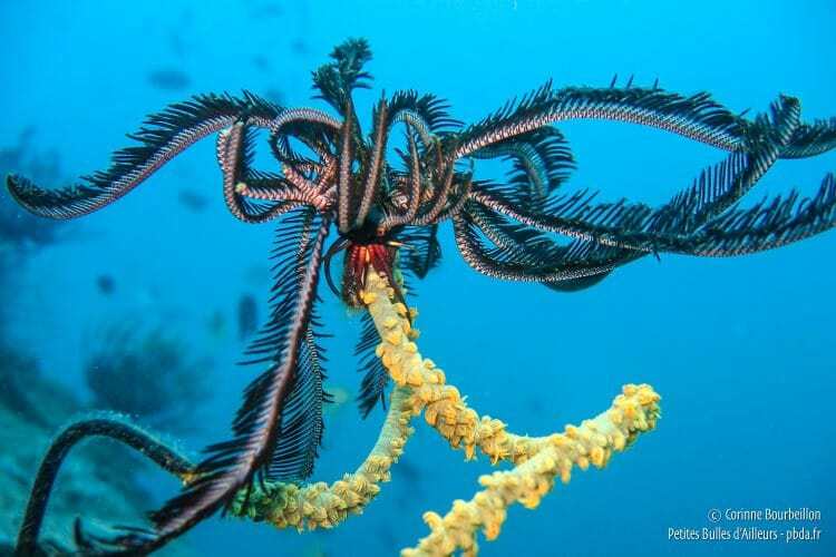 A crinoid, clinging to a branch of coral. (Sogod Bay, Leyte, Philippines, February 2008)
