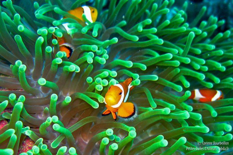 Une petite famille de poissons-clowns. (Sogod Bay, Leyte, Philippines, février 2008)