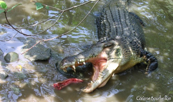 The large gray crocodiles are languishing in a sluggish pond where they are thrown into pieces of snake.