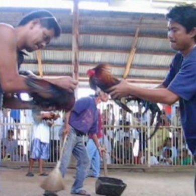 Combat de coqs. Siquijor, Philippines, février 2008.