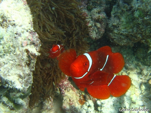 Clownfish. Togian Islands, Sulawesi, Indonesia. July 2007.