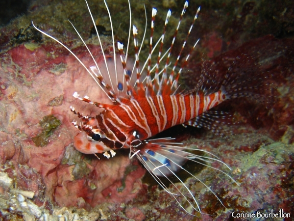 Scorpion fish or lion-fish. Togian Islands, Sulawesi, Indonesia. July 2007.
