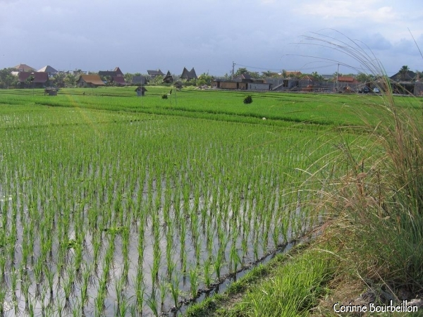 Rizières près de Kuta, entre Kerobokan et Canggu. (Bali, juillet 2008)