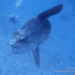 Mola-mola ou poisson-lune, à Crystal Bay, Nusa Penida. Bali, juillet 2008.