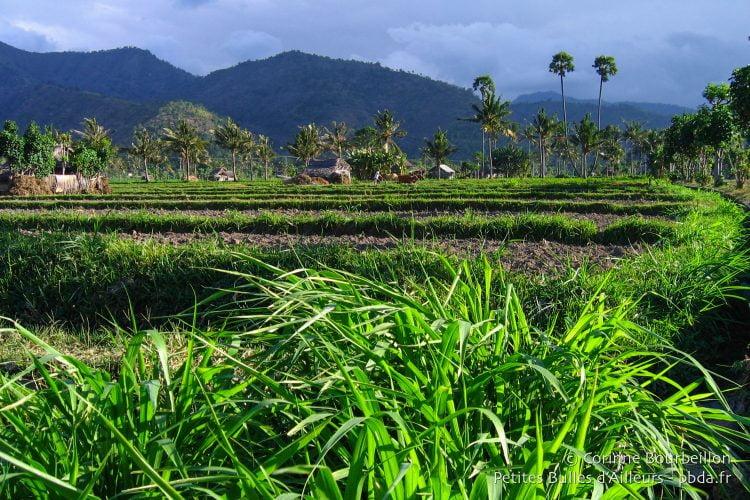 Le vert incroyable des rizières, à l'entrée d'Amed. (Bali, Indonésie, juillet 2008.)