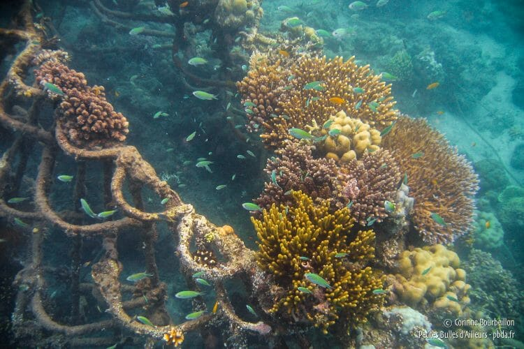 The electric current of the Biorock structures allows the coral to settle. (Pemuteran, Bali, Indonesia, July 2008.)