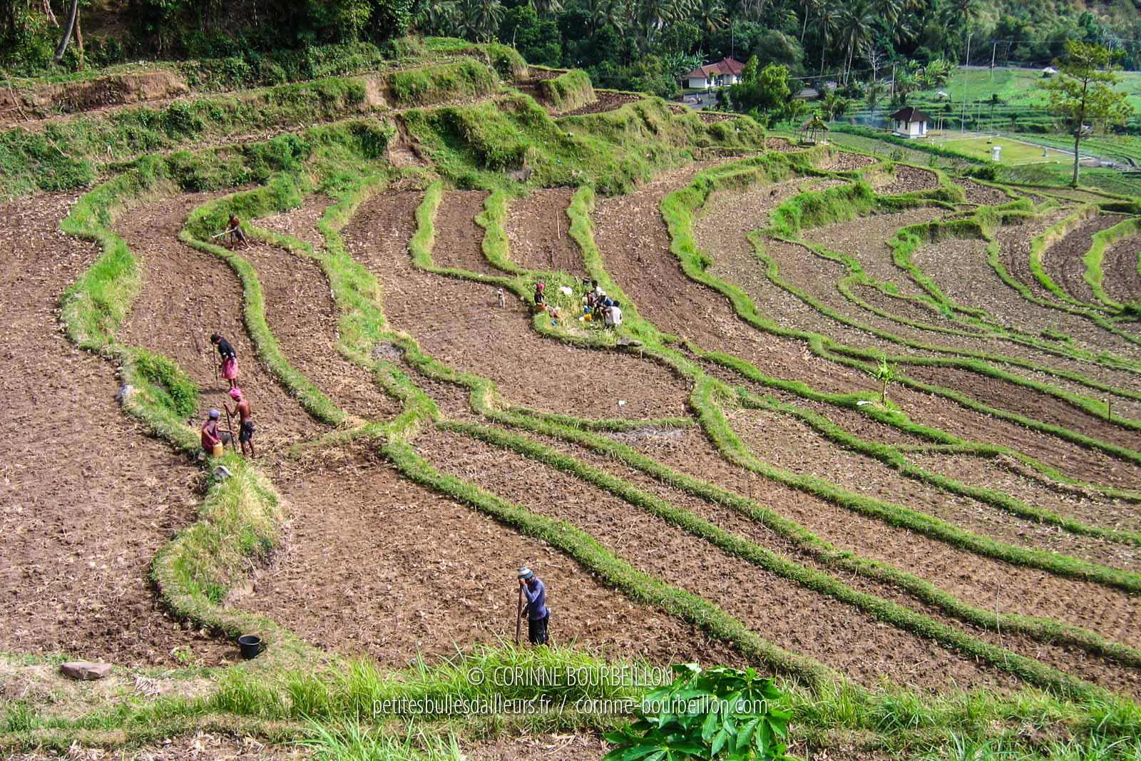Rizières dans la région d'Amed. Bali, Indonésie, juillet 2008.