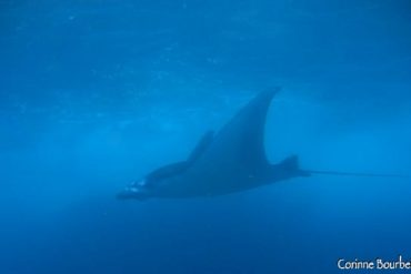 A manta ray emerges in blue fog. Manta Point, Nusa Penida. Bali.