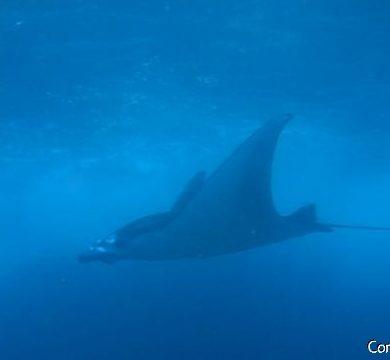 A manta ray emerges in blue fog. Manta Point, Nusa Penida. Bali.