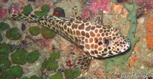 Grouper. Koh Phi Phi, Thailand, January 2007.