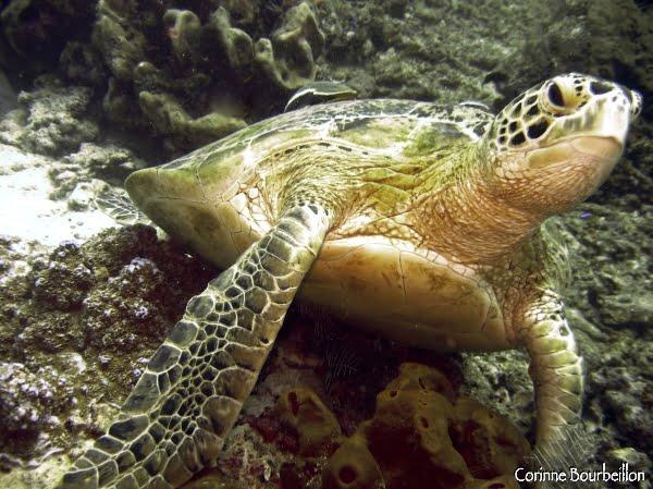 Tortoise. Sipadan, Malaysia.