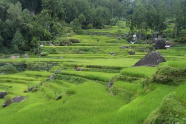 Rice fields near Batutumonga. Sulawesi, Indonesia.