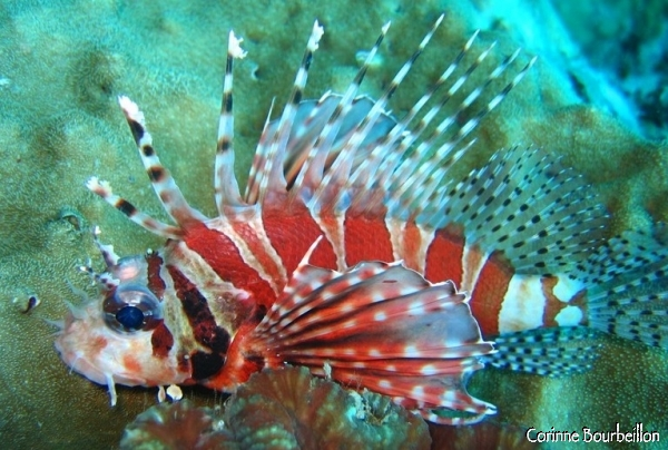 A lionfish or lion-fish in English, bright red.