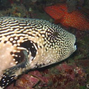 un poisson ballon étoilé et un mérou révèlent leurs vraies couleurs avec le flash de l'appareil-photo...