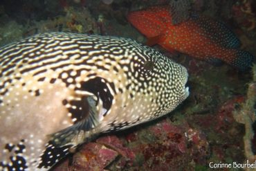 a star balloon fish and a grouper reveal their true colors with the flash of the camera ...