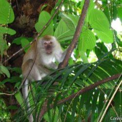 Un singe aperçu en chemin... (Tioman, Malaisie)