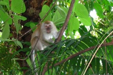 A monkey seen on the way ... (Tioman, Malaysia)