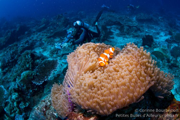 Clownfish and diver. Borneo, Indonesia, July 2013.