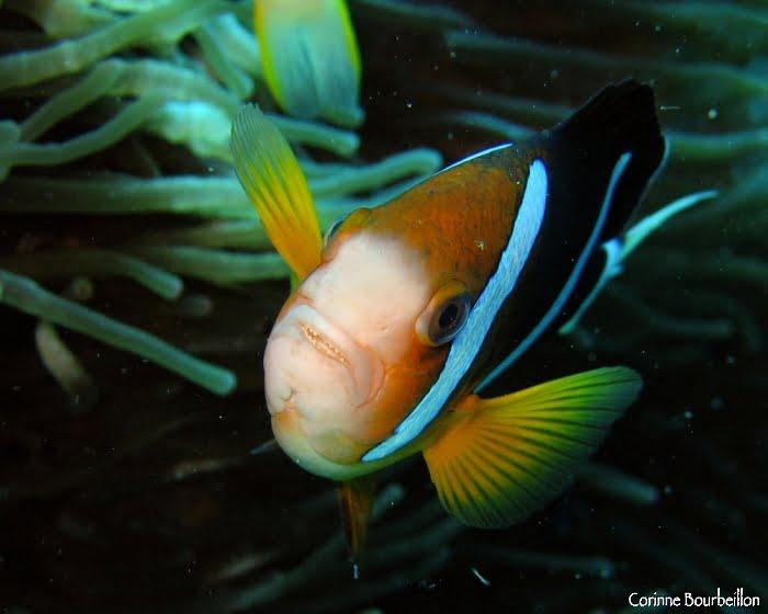 Les poissons-clowns ont des dents !