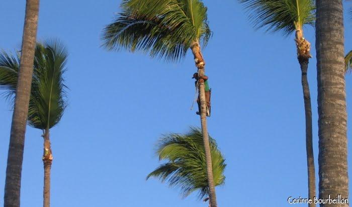 Élagage des branches et noix de coco. (République Dominicaine, janvier 2009)