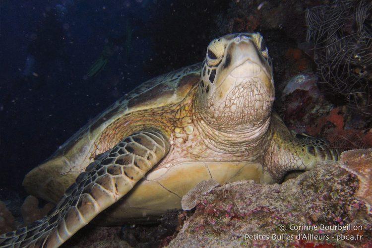 Turtle in Sipadan. (Borneo, Malaysia, July 2009.)