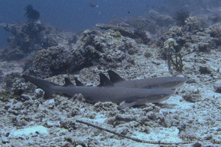 Requins à Sipadan. Bornéo, Malaisie. Juillet 2009.
