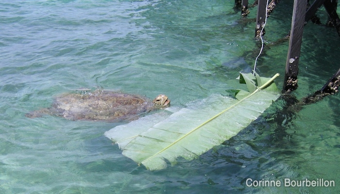 Banana leaf attracts turtles for sure ... (Derawan, Borneo, Indonesia, 2009)