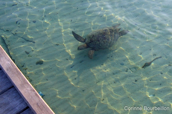 In Derawan, turtles come to swim under the pontoons. (Borneo, Indonesia, July 2009).