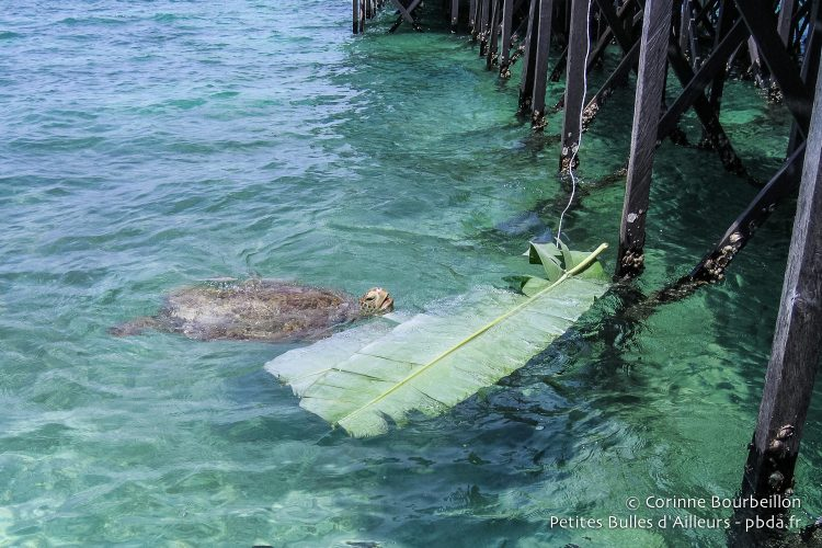 Just hang a banana leaf under the pontoon to attract turtles! (Derawan, Borneo, Indonesia, July 2009).