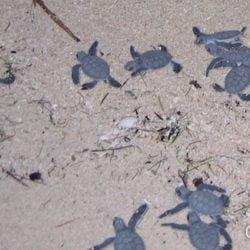 Les bébés tortues courent vers la mer... (Berawan, Bornéo, Indonésie, juillet 2009).