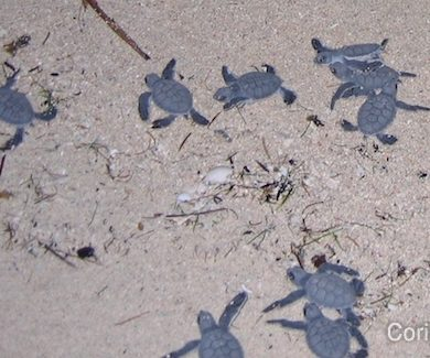 Baby turtles run to the sea ... (Berawan, Borneo, Indonesia, July 2009).