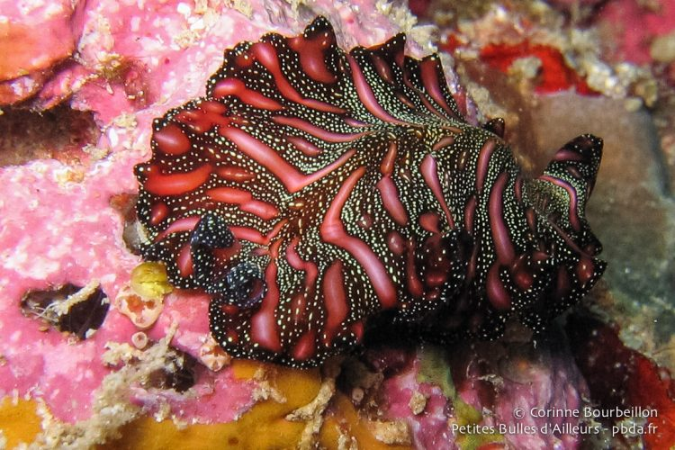 Flat worm. Derawan Island (Borneo, Indonesia, July 2009).