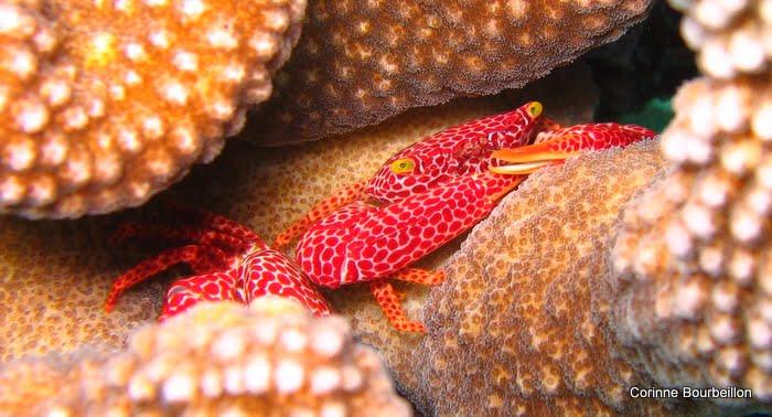 Petits crabes de corail photographiés à Batee Tokong (Pulau Weh).