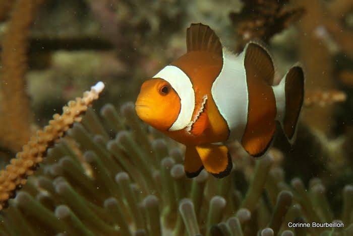 Le papa de Nemo vous dit bonjour ! (Pulau Weh, Gapang Beach)