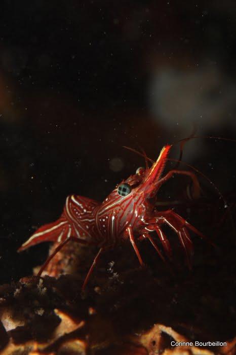 Shrimp. Pulau Weh, Sumatra, Indonesia. March 2010.
