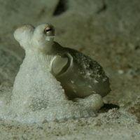 Mimic Octopus. Pulau Weh, Sumatra, Indonésie. Mars 2010.