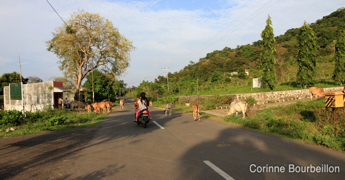 In Pulau Weh, cows are the queens of the road. Sumatra, Indonesia, March 2010.