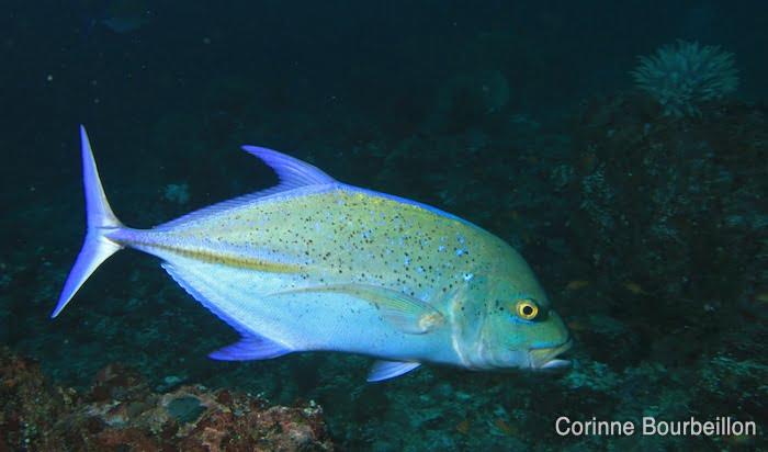 Carangue bleue (blue jackfish). Pantee Peunateung, Pulau Weh. Sumatra, Indonésie. Mars 2010.