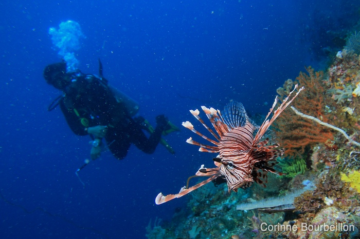 A lionfish scares me out of the corner of my eye ... (Bangka Island, Sulawesi, Indonesia, July 2010.)
