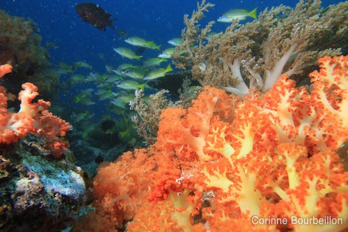 Coraux mous. (Bangka Island, Sulawesi, Indonésie. Juillet 2010.)