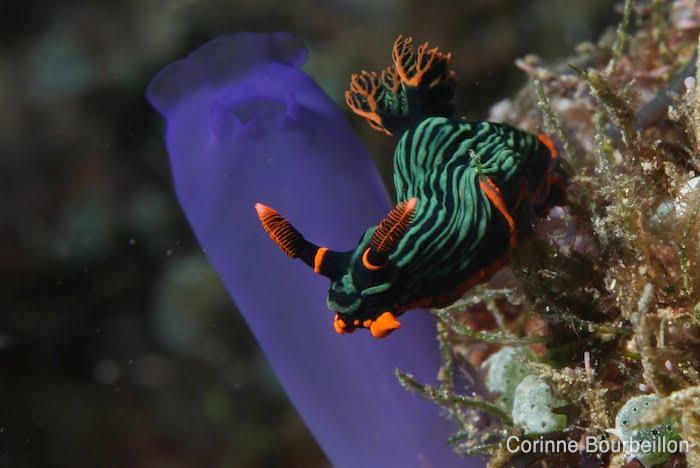Nudibranche. (Bangka, Sulawesi, Indonésie. Juillet 2010.)