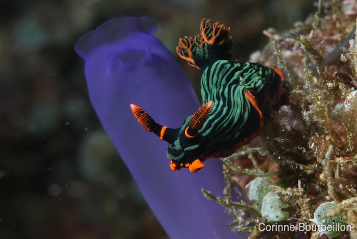 Nudibranch. (Bangka, Sulawesi, Indonesia, July 2010.)